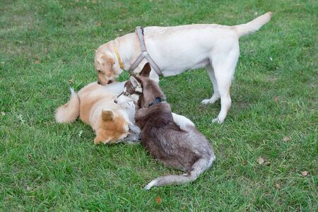 Siberian husky, akita inu and labrador retriever puppies are playing on a green meadow. Pet animals. Purebred dog. Фото со стока