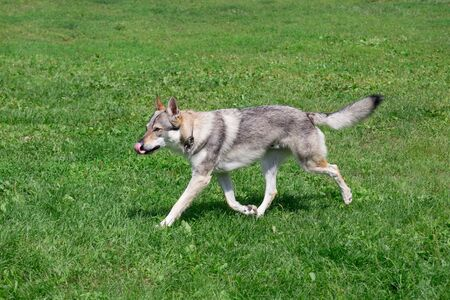 Czechoslovak wolfdog is running on a green meadow. Pet animals. Purebred dog. Фото со стока