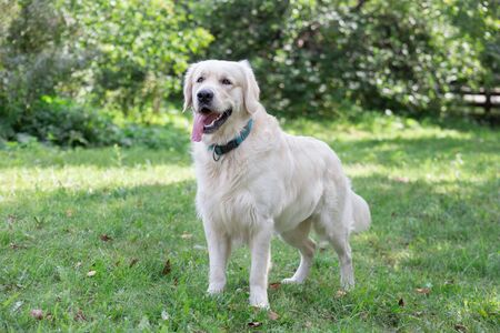 Cute golden retriever is standing on a green meadow. Pet animals. Purebred dog.