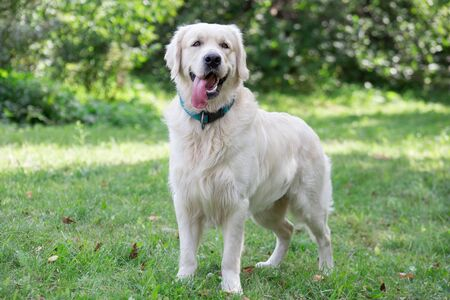 Cute golden retriever is looking at the camera. Pet animals. Purebred dog.