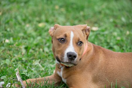 Portrait of american staffordshire terrier puppy. Pet animals. Two month old. Purebred dog. Standard-Bild - 130515714