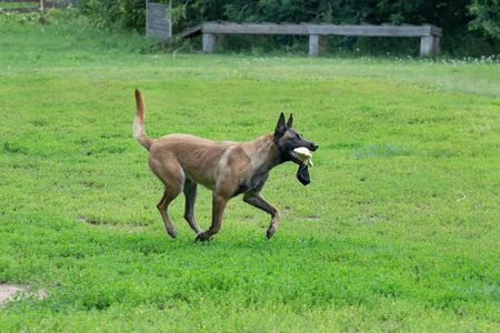 Cute belgian sheepdog is running on a green grass with his toy. Pet animals. Purebred dog. Standard-Bild - 130515718