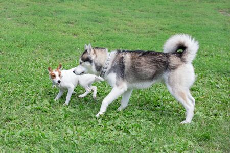 Siberian husky and jack russell terrier puppy are playing on a green meadow. Pet animals. Purebred dog. Standard-Bild - 130515724