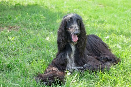 Cute afghan hound is looking at the camera. Eastern greyhound or persian greyhound. Pet animals. Purebred dog. Standard-Bild - 130515725