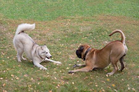 Cute siberian husky and bullmastiff are playing on the grass in autumn park. Pet animals. Purebred dog. Standard-Bild - 130515799