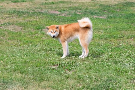 Cute akita inu puppy is standing on a green grass in the park. Pet animals. Purebred dog. Standard-Bild - 130515810