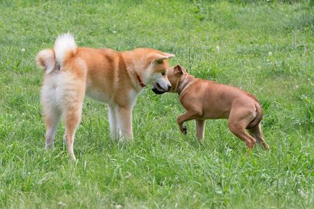 Cute american pit bull terrier puppy and akita inu puppy are playing on a green grass in the park. Pet animals. Purebred dog. Standard-Bild - 130515821