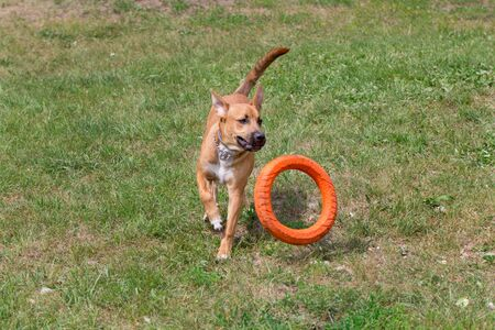 Cute american pit bull terrier puppy is jumping behind the doggie ring. Pet animals. Purebred dog. Standard-Bild - 130515823