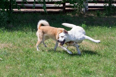 Cute west siberian laika and labrador retriever are playing in the autumn park. Pet animals. Purebred dog. Standard-Bild - 130515826
