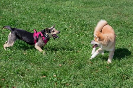 Cute akita inu puppy and multibred dog are playing on a green meadow. Pet animals. Purebred dog.