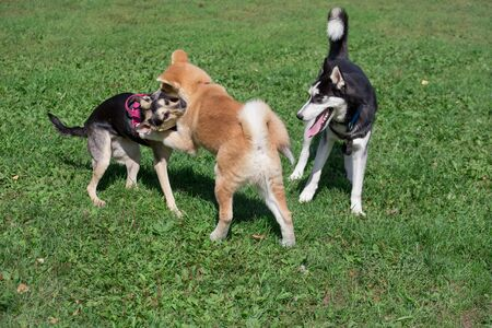 Siberian husky, akita inu puppy and homeless dog are playing on a green meadow. Pet animals. Purebred dog.