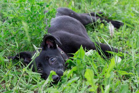 Lindo cachorro multibred del refugio para perros está tumbado en la hierba verde. Esperanza de vida. Foto de archivo