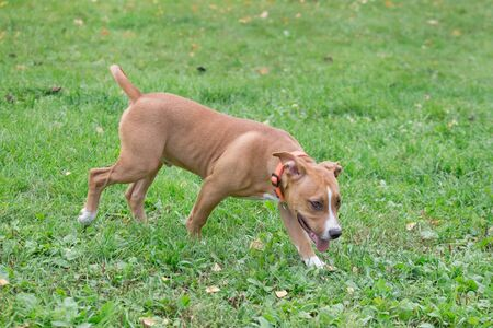 American staffordshire terrier puppy is walking on the green grass in the park. Pet animals. Two month old. Purebred dog. Фото со стока