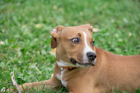 Cute american staffordshire terrier puppy is lying on the green grass in the autumn park. Pet animals. Two month old. Purebred dog.