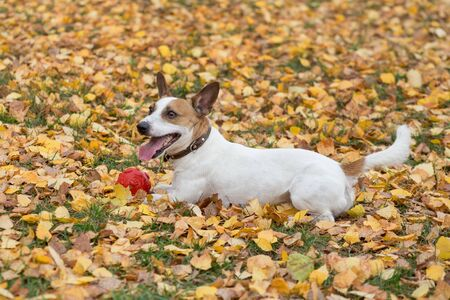 Cute jack russell terrier puppy with his toy in the autumn park. Pet animals. Purebred dog.