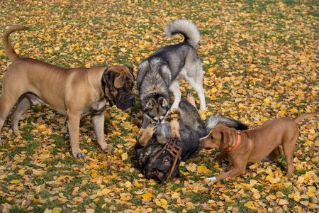 Siberian husky, bullmastiff, amstaff and multibred dog are playing in the autumn park. Seasons of the year.