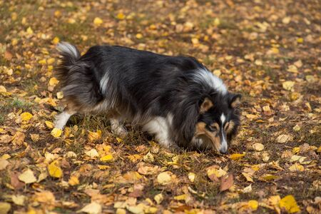 Cute scotch collie is walking on yellow leaves in the autumn park. Pet animals. Purebred dog. 版權商用圖片