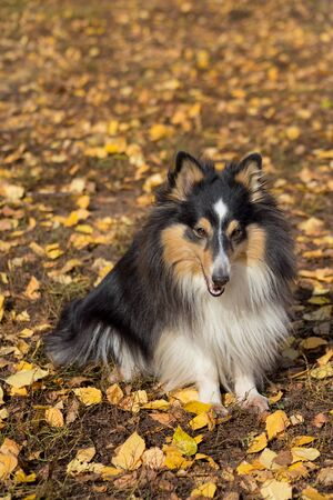 Cute scotch collie is sitting on yellow leaves in the autumn park. Pet animals. Purebred dog.