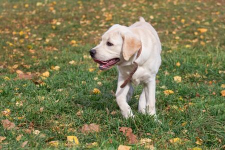 Little labrador retriever puppy is standing on yellow leaves in the autumn park. Pet animals. Two month old. Purebred dog.