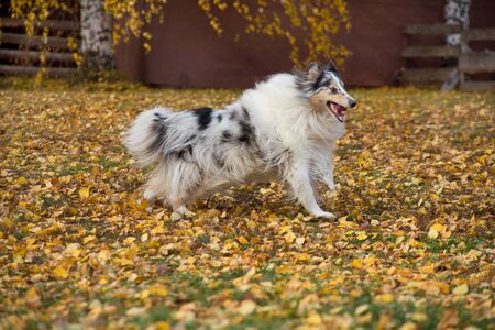 Cute blue merle shetland collie is running on yellow leaves in the autumn park. Pet animals. Purebred dog. 版權商用圖片