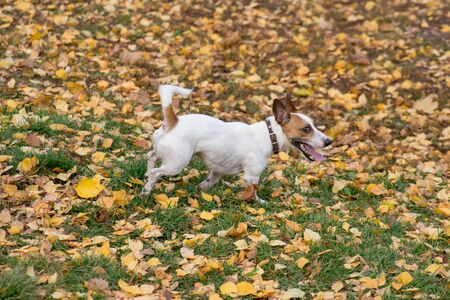 Cute jack russell terrier puppy is walking in the autumn park. Pet animals. Purebred dog. 版權商用圖片
