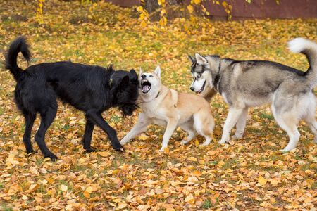 West siberian laika, siberian husky and multibred dog are playing in the autumn park. Pet animals. 版權商用圖片