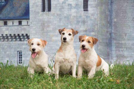 Three jack russell terrier puppies are sitting on the green grass against the background of a stone wall of an ancient castle. Pet animals. Purebred dog.