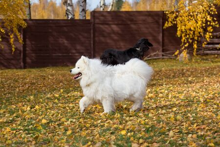 Cute samoyed dog is running on yellow leaves in the autumn park. Pet animals. Purebred dog.