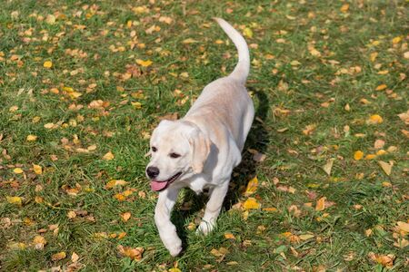 Cute labrador retriever puppy is walking in the autumn park. Pet animals. Two month old. Purebred dog.