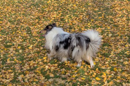 Cute blue merle shetland collie is walking in the autumn park. Pet animals. Purebred dog.