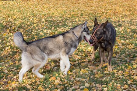 Cute siberian husky and multibred dog in basket muzzle are playing in the autumn park. Seasons of the year.