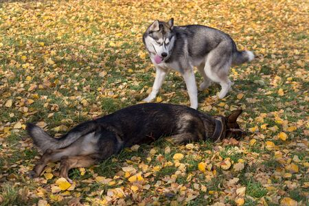 Siberian husky and multibred dog in basket muzzle are playing in the autumn park. Seasons of the year. 版權商用圖片