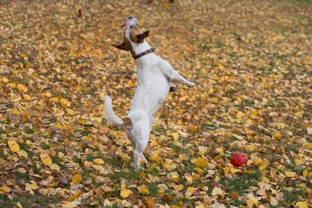 Jack russell terrier puppy is jumping for yellow leaves in the autumn park. Pet animals. Purebred dog.