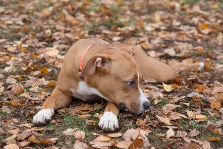 Sad american staffordshire terrier puppy is lying on a autumn leaves in the park. Pet animals. Purebred dog. 版權商用圖片