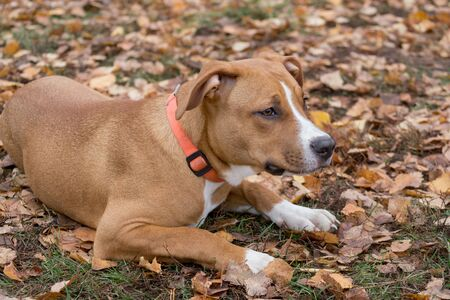 Cute american staffordshire terrier puppy is lying on a autumn leaves in the park. Pet animals. Purebred dog.