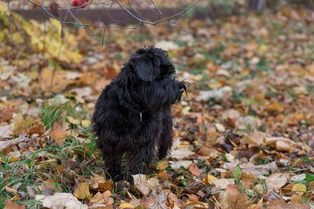 Cute zwergschnauzer puppy is standing on a yellow leaves in the autumn park. Pet animals. Purebred dog.