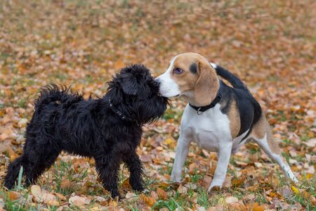 Cute zwergschnauzer puppy and beagle puppy are playing in the autumn park. Pet animals. Seasons of the year. 版權商用圖片