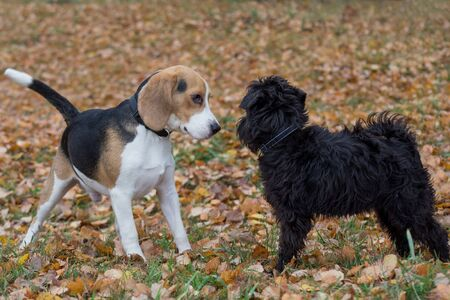 Cute miniature schnauzer puppy and beagle puppy are playing in the autumn park. Pet animals. Seasons of the year.