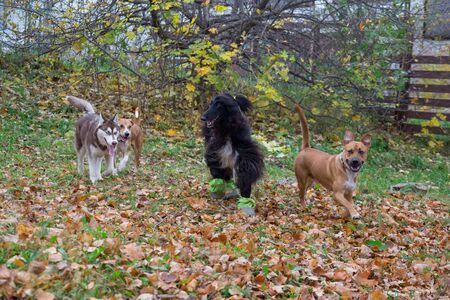 Four dogs are playing in the autumn park. Pet animals. Purebred dog. 版權商用圖片