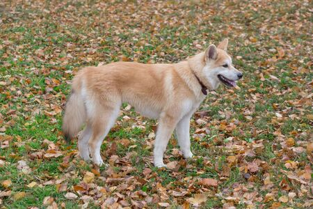 Cute akita inu puppy is standing on a yellow leaves in the autumn park. Pet animals. Purebred dog.