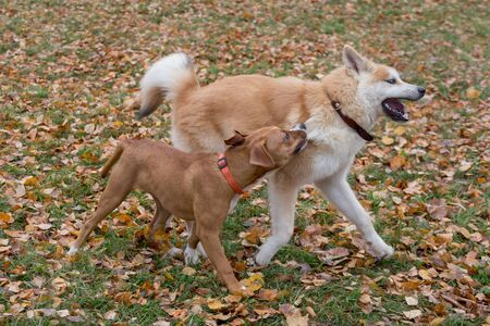 Cute american staffordshire terrier puppy and akita inu puppy are playing in the autumn park. Pet animals. Purebred dog.
