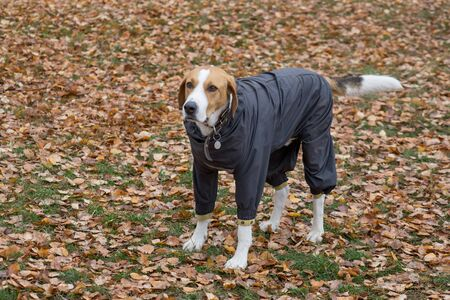 Cute russian hound in the pet coat is standing on a yellow leaves in the autumn park. Pet animals. Purebred dog.