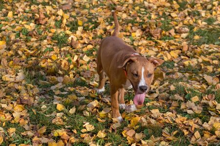 American staffordshire terrier puppy is standing on a yellow leaves in the autumn park. Pet animals. Three month old. Purebred dog.