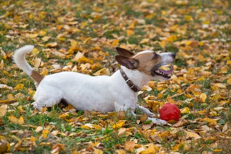 Cute jack russell terrier puppy is lying with his toy on the autumn leaves. Pet animals. Purebred dog. 版權商用圖片