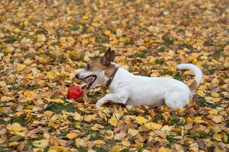 Cute jack russell terrier puppy is playing with his toy on the autumn leaves. Pet animals. Purebred dog.