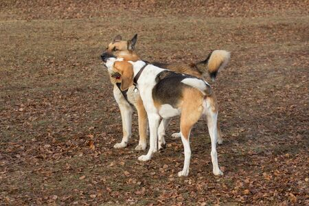 Cute multibred dog and russian hound is playing in the autumn park. Hope for life.