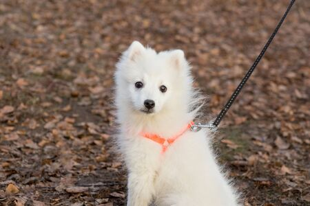 Cute japanese spitz puppy is looking at the camera. Pet animals. Purebred dog.