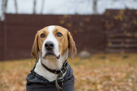 Cute russian hound in the pet coat n the autumn park. Close up. Pet animals. Purebred dog.