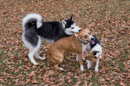 Black and white siberian husky, multibred dog and estonian hound puppy are playing in the autumn park. Seasons of the year. Pet animals. Purebred dog. Stock Photo