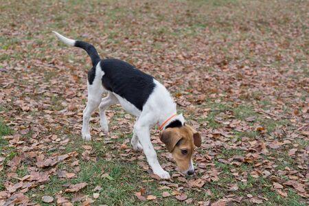 Estonian hound puppy is walking in the autumn park. Pet animals. Purebred dog. Stock Photo